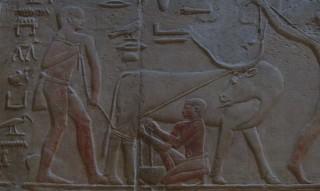 Widerspenstige Kuh wird gemolken im Grab des Kagemni
